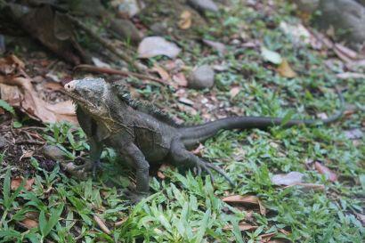 Une autre spécialité locale : les iguanes. Ils ne sont ni dangereux, ni agressifs, et connaissent généralement en traversant les routes le même sort que nos hérissons